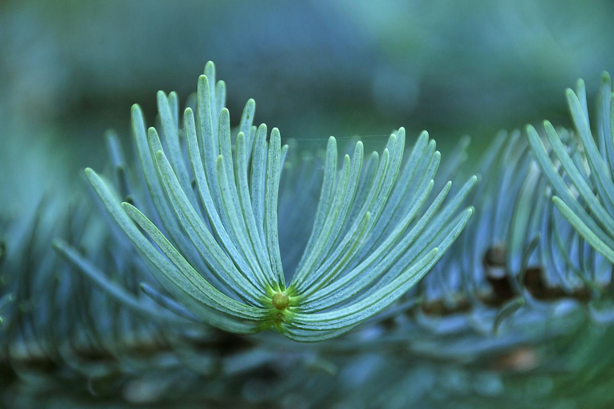 Rameau de pin